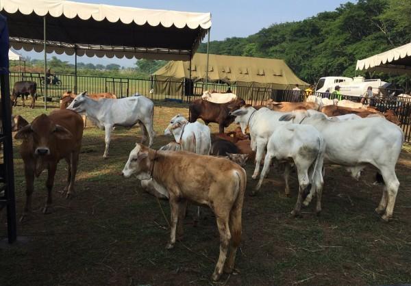 Pedet-pedet (anak sapi) dari PT MPL yang di datangkan dari peternakan sapi PT MPL di Desa Jonggol, Bogor Jawa Barat, Selasa (24/11)