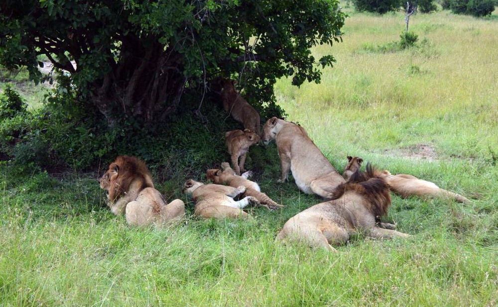 Kelompok Singa di taman nasional Kenya juga memiliki daya beoto luar biasa untuk menarik turis asing.  Ist